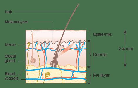 Melanocytes | NowMi